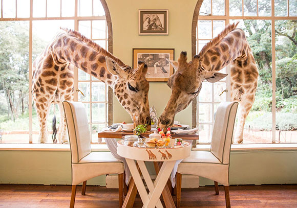 Giraffe Manor 1